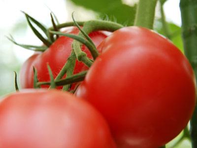 トマトでーーーす