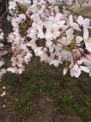 2016-4 桜