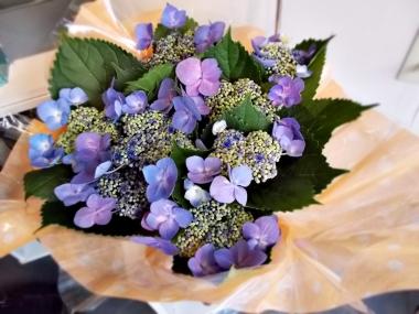 はるべ harube 紫陽花