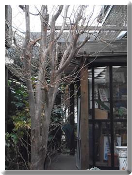 丸坊主のシンボルツリー