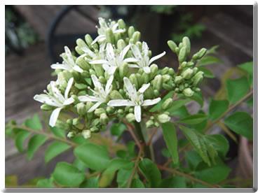カラピンチャの花