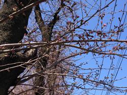 2015-0327-sakura