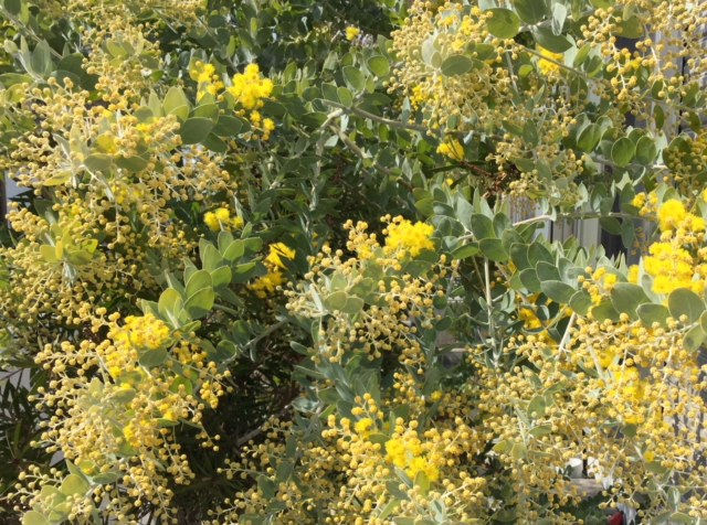 IMG_4623ミモザの花.jpg