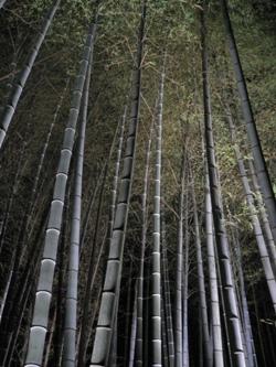青蓮院竹林
