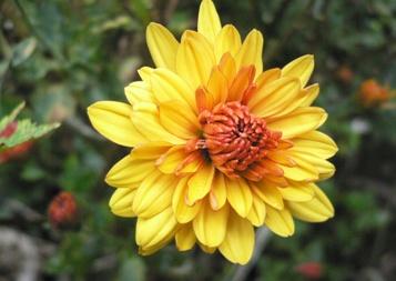四季咲き菊