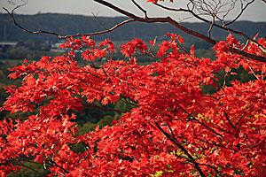 鮮やかな紅葉の赤