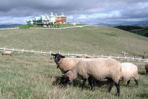 羊飼いの家とサフォークたち