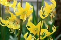 黄色いカタクリ