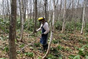 笹刈り作業風景