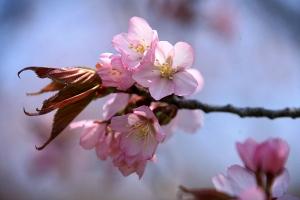 桜の花が咲き始める