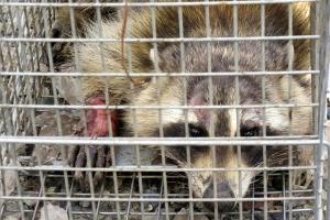 昨日捕獲されたアライグマ