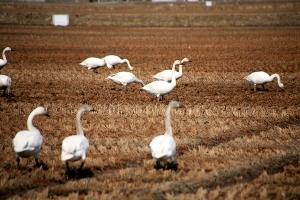 羽をやすめる白鳥の群れ