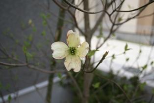 新居の花水木