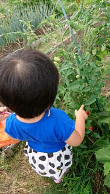 ミニトマト摘み
