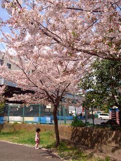 やっと桜をじっくり見る