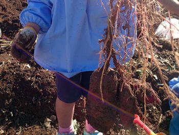 大きな芋が掘れました
