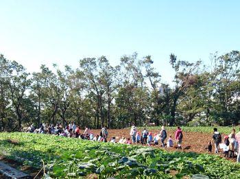大きな畑でサツマイモ掘り