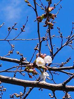 近くの桜の木は3輪咲き