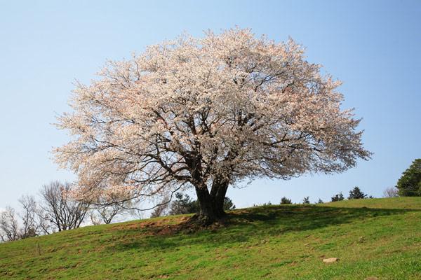 才尾の一本桜 2007