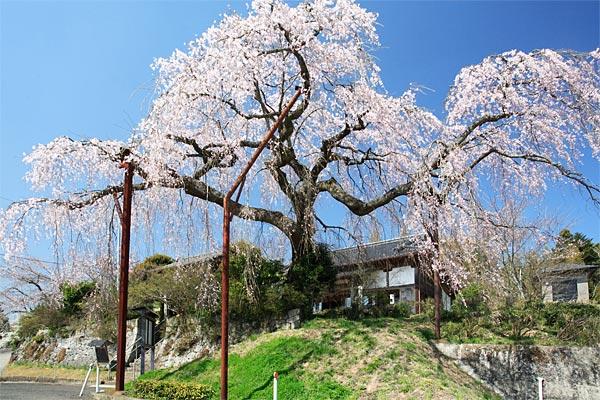 円光寺の大しだれ桜