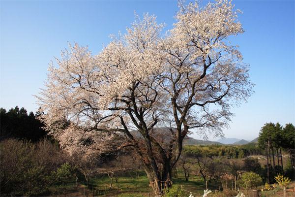 千女房の山桜 2007