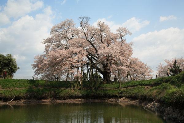 浅井の一本桜 2007