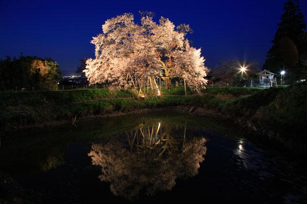 浅井の一本桜 ライトアップ