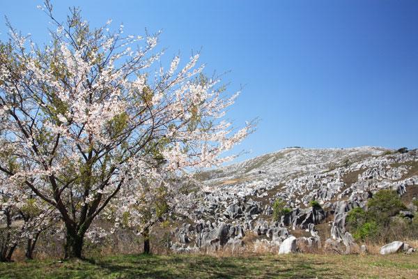 平尾台の桜