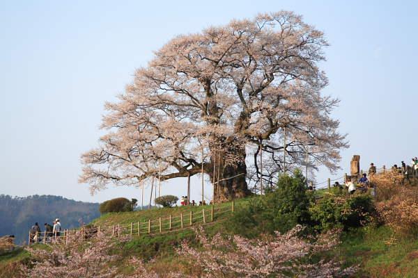 醍醐桜2007 No.1