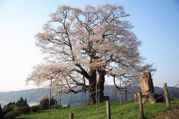 醍醐桜2007 No.2