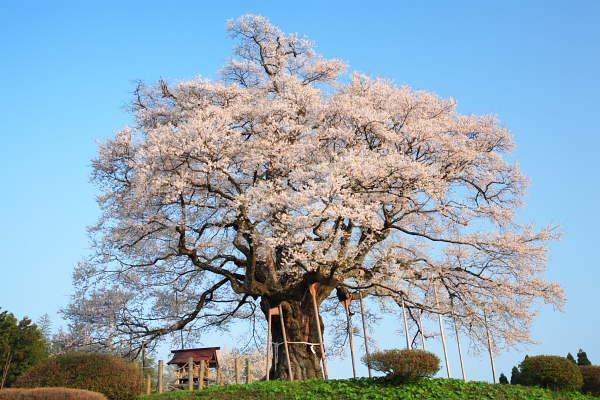 醍醐桜2007 No.3