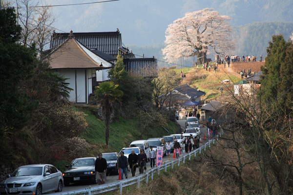 醍醐桜2007 No.4
