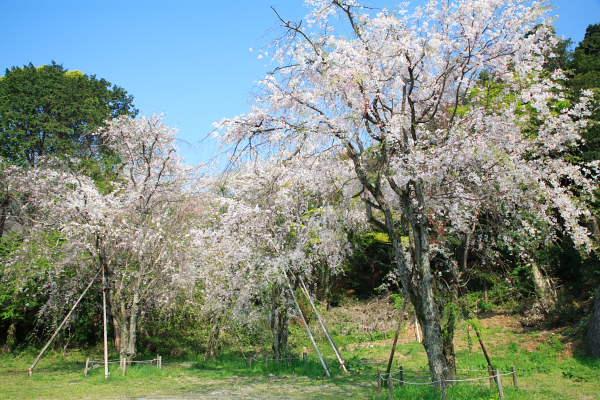 妙見神社のしだれ桜 2007