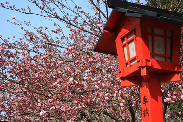 妙見神社の八重桜 2007