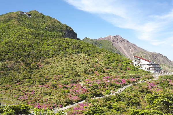 雲仙仁田峠のミヤマキリシマ