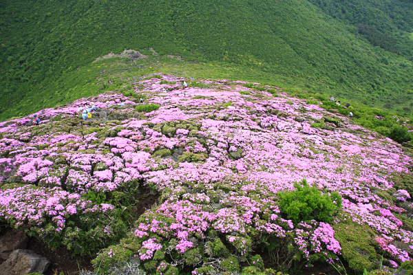 平治岳のミヤマキリシマ2