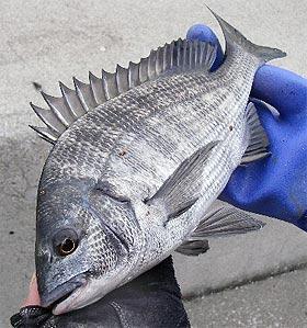 樋島で釣ったメイタ君です。