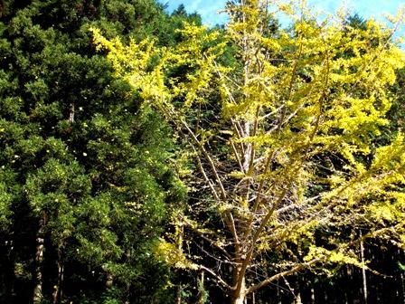 bihoku_tree.JPG