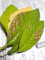 アボカドの葉っぱ