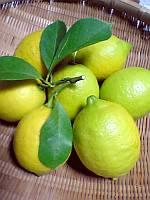 もぎ立ての「レモン」