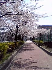 桜の花びらが舞う〜遊歩道