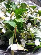ドクダミの花と若葉