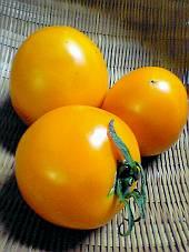 大玉の黄色のトマト「黄寿(おうじゅ)トマト」