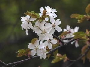 「山桜」は清楚ななかに、華やかさが・・・