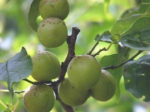 無農薬栽培の「小梅」