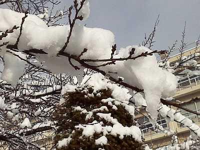 桜の花芽にも雪が・・・