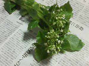 「山葵(わさび)」の花