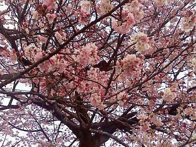 4月4日、桜