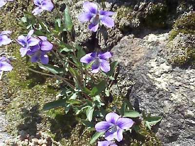 スミレの花が咲いた