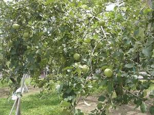 「リンゴ並木」のりんご